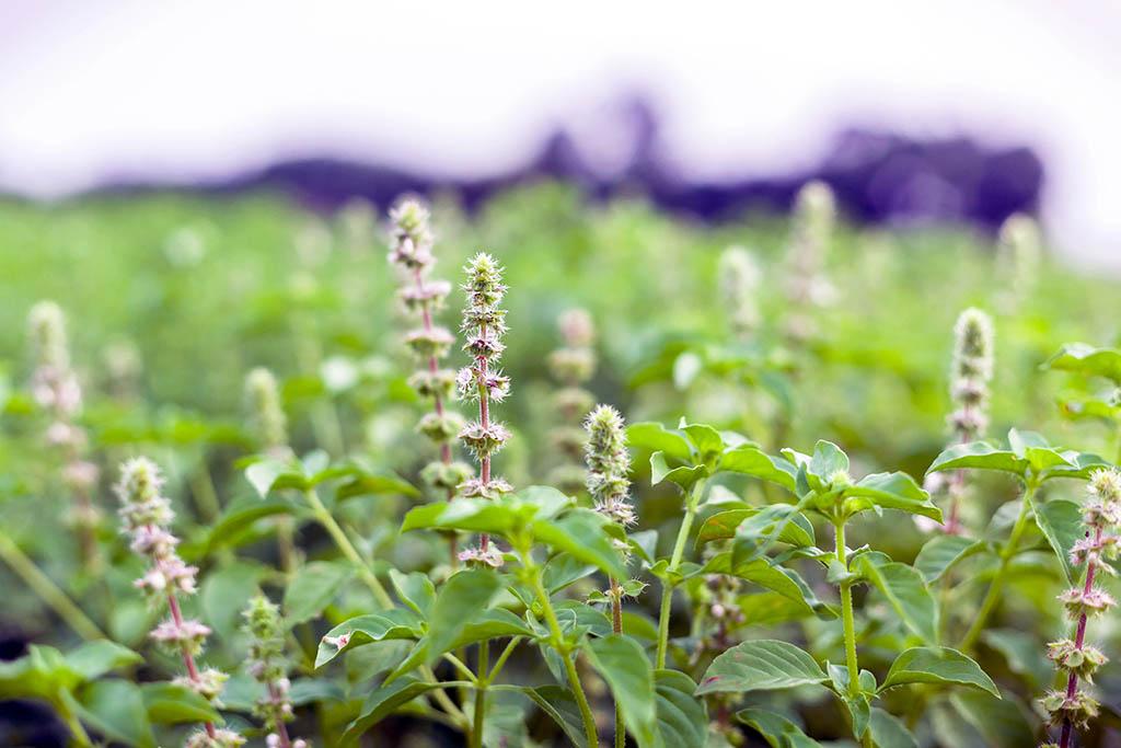 Tulsi Health Benefits: Buy Tulsi Tea from Linden Botanicals