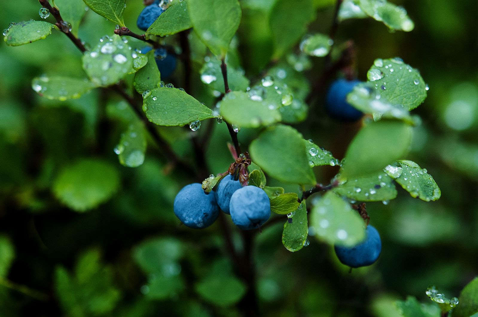 Vaccinium uliginosum - Bilberry - Linden Botanicals