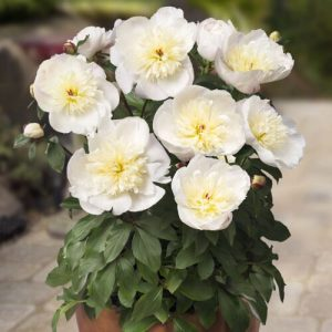 buy paeonia here