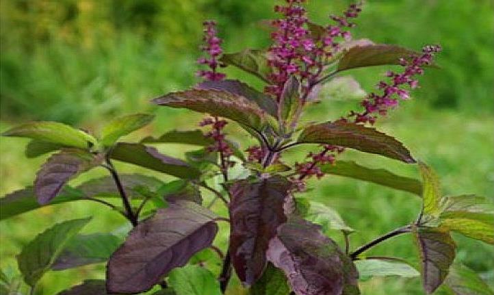 Ocimum tenuiflorum Therapeutic Uses (Tulsi, Holy Basil, Ocimum sanctum)