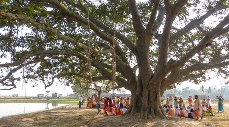 Haritaki Therapeutic Uses –Mybobalan, Terminalia Chebula, All Hail the King - Linden Botanicals