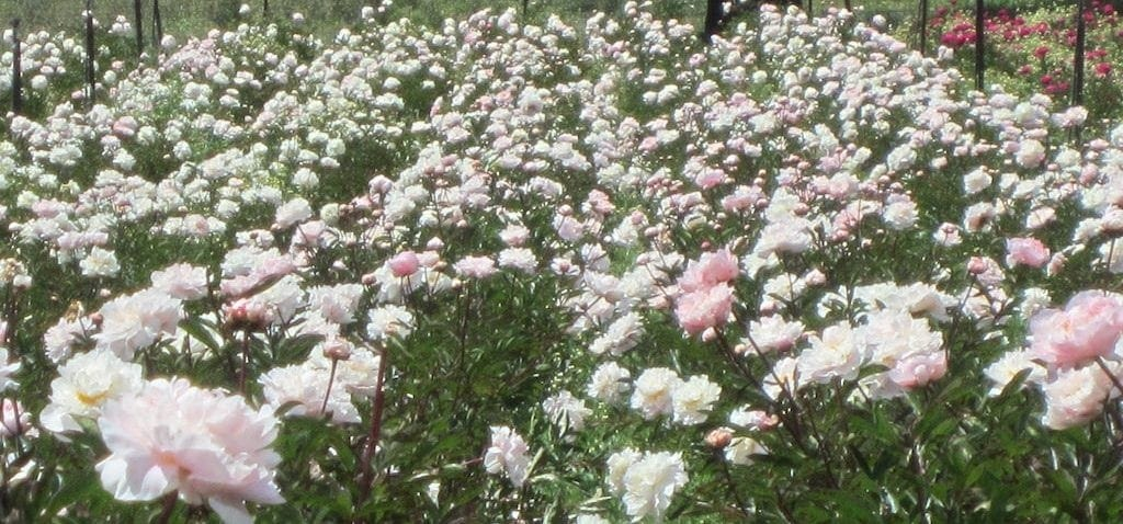 White Peony Tea Therapeutic Uses – Paeonia Lactiflora, Bai Shao Yao, Garden Peony, Beautiful Healer (Linden Botanicals - www.lindenbotanicals.com)