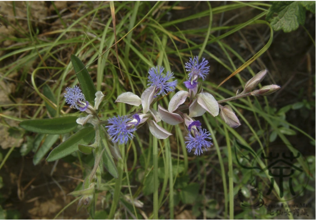 Herbs for Anxiety: Try the Will Strengthener (Polygala tenuifolia)