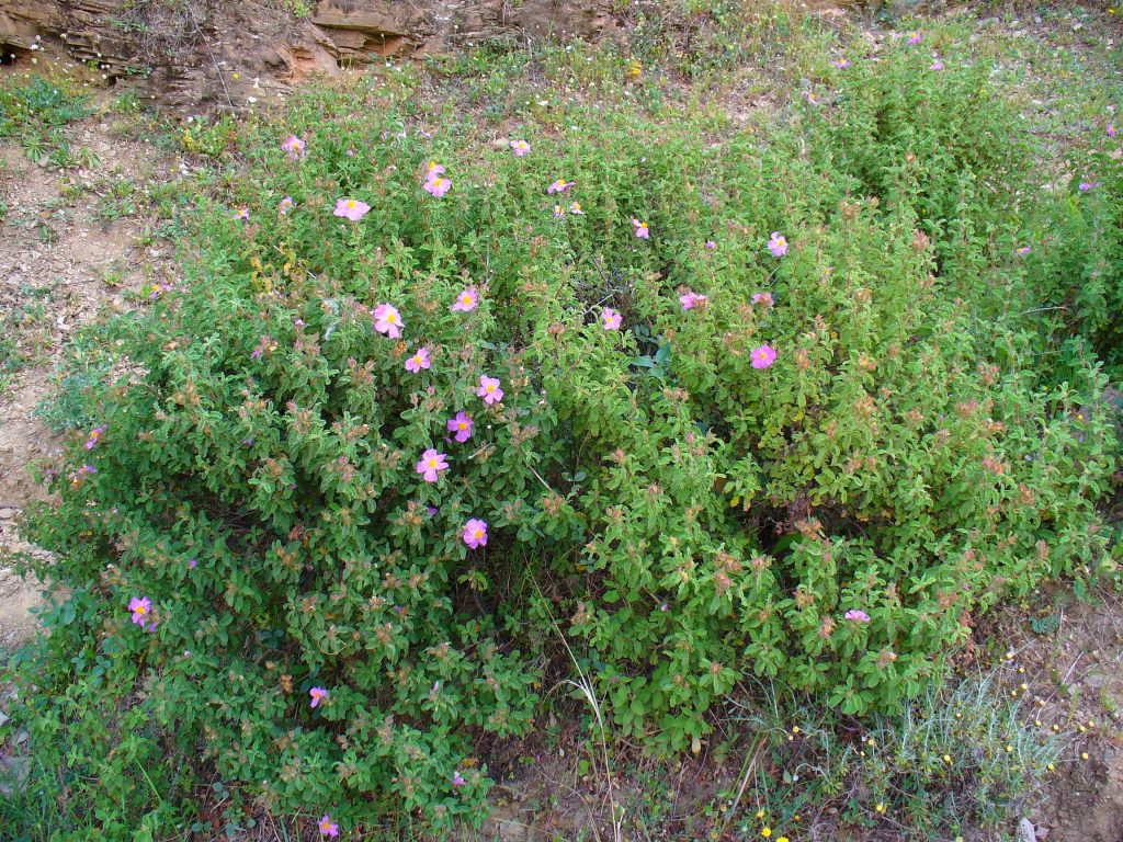 Rock Rose (Cistus incanus) Tea: Common Questions