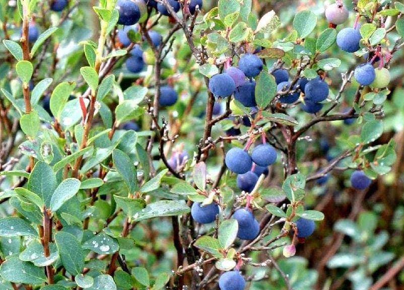 Vaccinium Health Benefits (Bilberry, Bog Blueberry) (www.LindenBotanicals.com)