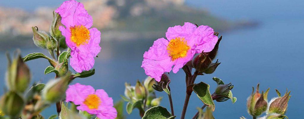 Natural Insect Repellant: Cistus incanus from Crete (Linden Botanicals)