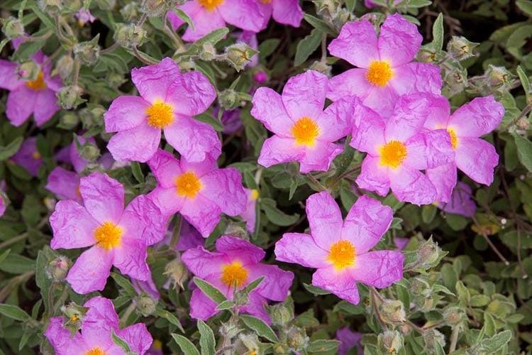 Mediterranean Cistus and Sardinian Cistus incanus - Linden Botanicals