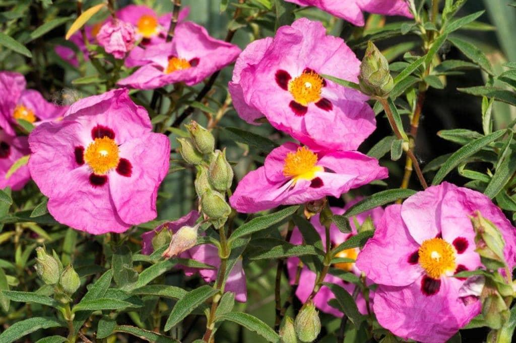 Rock Rose Tea - Cistus incanus for the Summer