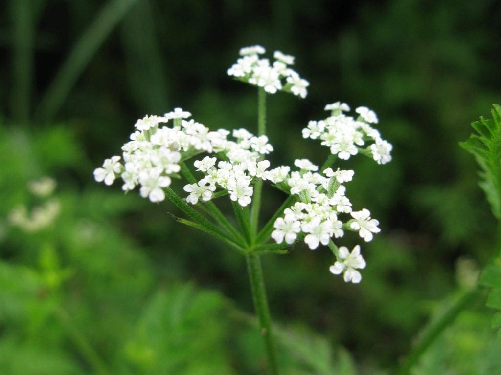 Japanese Hedge Parsley: Part of Our Immune Support Kit