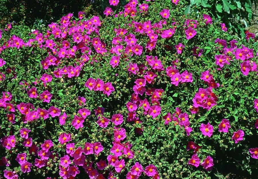 Cistus Tea: Health Benefits of Cistus Incanus (Rock Rose) - Linden Botanicals