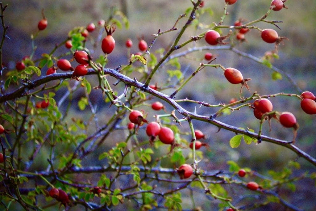Rose Hips Uses: Rose Hips are a great source of Vitamin C